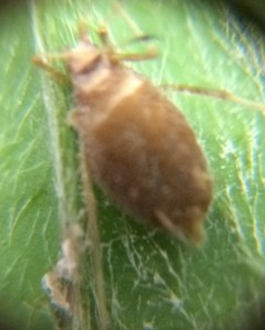 aphid2