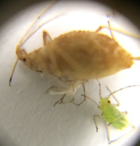 aphid5